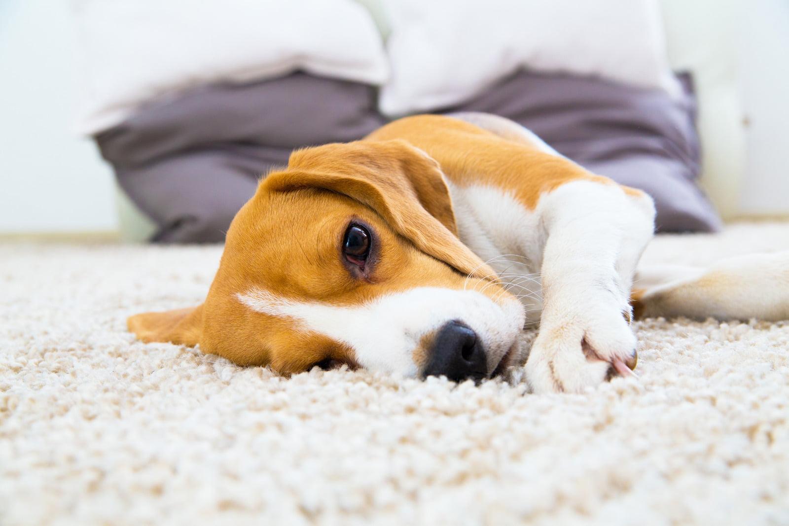 hond op tapijt tnclean